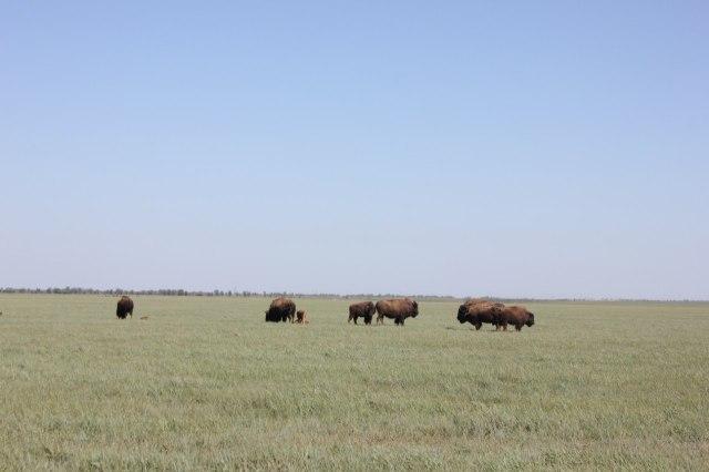 New Askaniya anna buffalo