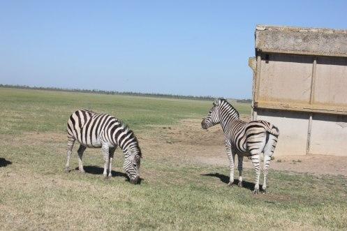 new askaniya anna zebra
