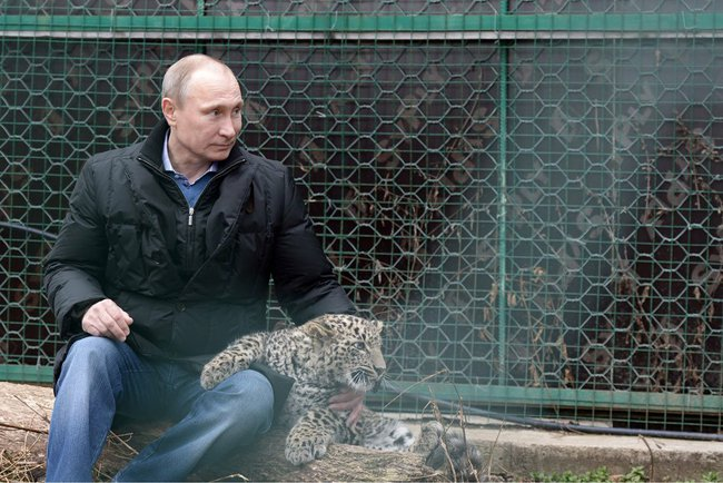 Sochi Persian leopard breeding rehab centre.